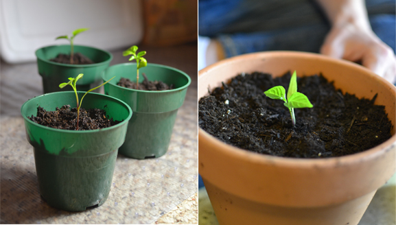 repotting pepper seedlings